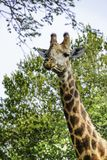 Une girafe avec de grands yeux de sommeil regarde dessus photo stock