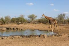 Une girafe en parc national de Kruger Image libre de droits