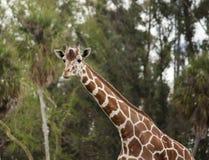 Une girafe finit une boisson et pose pour un portrait images stock