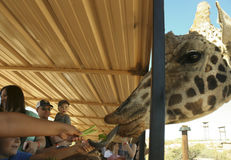 Une girafe prend le céleri de la main d'un garçon photos stock