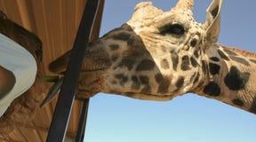 Une girafe prend le céleri de la bouche d'une femme Photographie stock