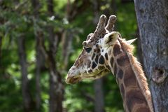 Une girafe radotante au soleil images stock