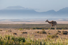 Une girafe se tenant contre une toile de fond montagneuse Images libres de droits