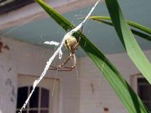 Une grande araignée australienne au centre de son Web attendant la proie photographie stock libre de droits