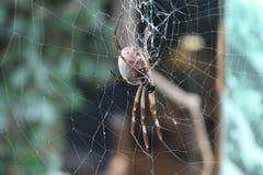 Une grande araignée sur le Web photographie stock libre de droits