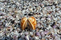 Une grande coquille de mer se trouvant sur une pile des coquilles Image libre de droits
