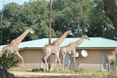 Une grande famille de la girafe en parc de Marloth marchant sur des rues autour des maisons image stock