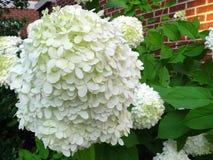 Une grande fleur blanche avec les pétales sensibles image stock