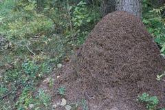 Une grande fourmilière dans les fourmis ensoleillées d'une forêt d'automne se préparent à l'hivernage, ils chauffent leur logemen image libre de droits