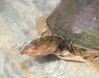 Une grande natation de tortue dans l'eau en Floride Photos libres de droits