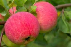 Une grande pomme rouge accroche sur une branche avec les feuilles vertes sur un APPL image stock