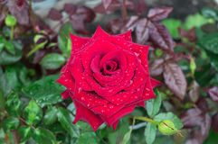 Une grande rose de rouge dans la perspective de nature Photographie stock libre de droits