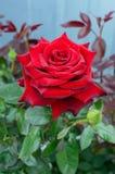 Une grande rose de rouge dans la perspective de nature Photos libres de droits