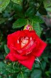 Une grande rose de rouge dans la perspective de nature Images stock