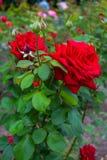 Une grande rose de rouge sur un buisson Photographie stock libre de droits