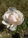 Une grande rose moitié-fleurie des nuances jaunes et roses sensibles avec des ombres sur les pétales fond naturel brouillé brun e photos stock