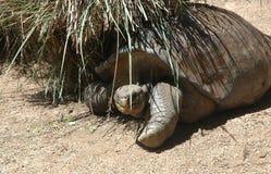 Une grande tortue abritant sous un bloc d'herbe Photo stock