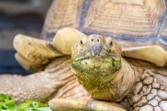 Une grande tortue de terre Images stock