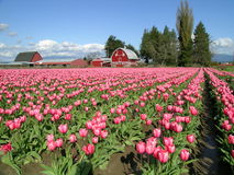 Une grange de tulipe Images libres de droits