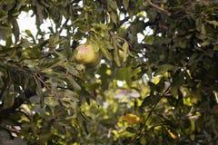 Une grenade sur un arbre en été Images libres de droits