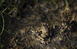 Une grenouille avec son camouflage parfait Image libre de droits