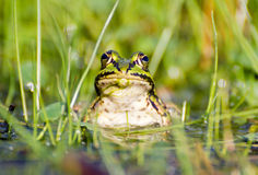 Une grenouille dans un étang Image libre de droits