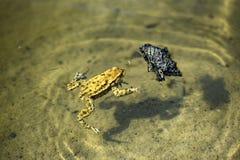 Une grenouille flottant dans l'eau pendant la saison d'accouplement photographie stock libre de droits