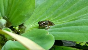 Une grenouille minuscule indique bonjour images stock