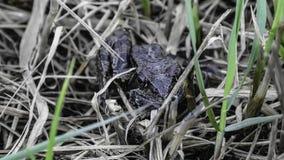 Une grenouille moulue dans une herbe image libre de droits