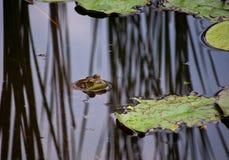 Une grenouille mugissante dans un étang Images libres de droits