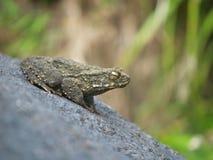 Une grenouille par une cascade Photos stock