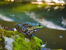 Une grenouille près de la rivière photo libre de droits