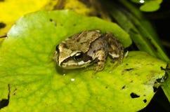 Une grenouille reposée sur Lily Pad Photo stock