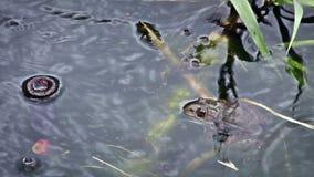 Une grenouille se reposant dans l'eau tandis qu'il pleut dans le del Ingenio de charco d'EL de jardin botanique banque de vidéos