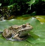 Une grenouille sur la lame de lotus Photos libres de droits