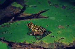 Une grenouille sur une feuille de lotus image libre de droits