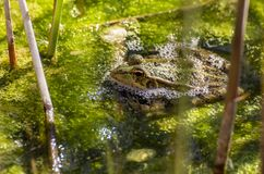 Une grenouille tranquillement dans un étang vert photographie stock
