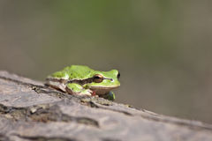 Une grenouille verte Photos stock