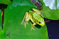 Une grenouille verte Photo stock