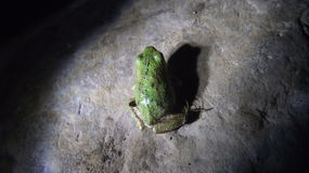 Une grenouille verte Images stock