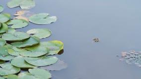 Une grenouille verte clignote un oeil dans un lac d'étang banque de vidéos