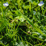 Une grenouille verte est dans une herbe Image stock