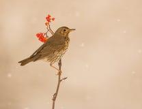 Grive de chanson sous chutes de neige Images libres de droits