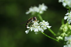 Une guêpe rassemblant le nectar Image stock