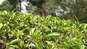 Une haie des feuilles vertes en Inde banque de vidéos