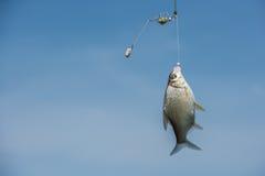 Une hausse de poissons à l'amorce photographie stock libre de droits