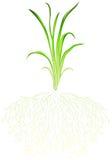 Une herbe verte Image libre de droits