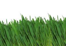 Une herbe verte. Image stock