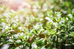 Une herbe verte juteuse, allumée par un soleil lumineux d'été photo libre de droits