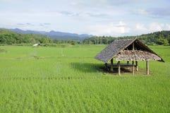 Une hutte dans le domaine de vert de riz non-décortiqué Images stock